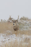 Mule Deer Buck in Snowstorm head on Stock Images