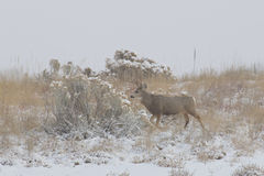 Mule Deer Buck in Snowstorm Stock Image