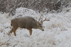 Mule Deer Buck in Snowstorm Royalty Free Stock Image
