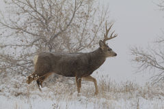 Mule Deer Buck in Snowstorm Royalty Free Stock Photography