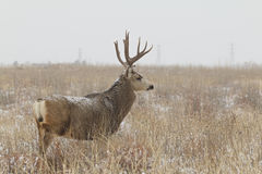 Mule Deer Buck in Snowy Field Stock Photography