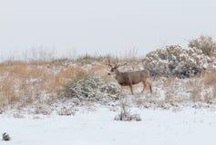 Mule Deer Buck in Snowy Scene Stock Image
