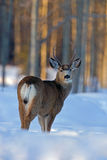 Mule Deer Buck Stock Photos