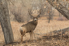 Mule Deer Buck Standing Royalty Free Stock Image