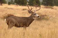 Mule Deer Buck Statuesque Stock Photo