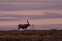 Mule Deer Buck in Sunrise Royalty Free Stock Photo