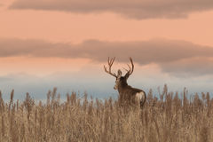 Mule Deer Buck at Sunrise Royalty Free Stock Photo