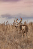 Mule Deer Buck at Sunrise Stock Images
