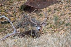 Mule Deer Buck in Velvet Bedded. A nice mule deer buck in velvet in Utah bedded stock images