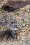 Mule Deer Buck in Velvet Bedded. A nice mule deer buck in velvet in Utah bedded royalty free stock photos