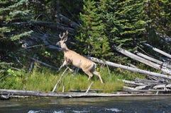 Mule deer buck in velvet. Mule deer buck in full velvet in Yellowstone stock photography