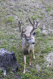 Mule Deer Buck in Velvet Stock Image