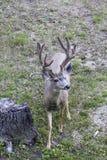 Mule Deer Buck in Velvet. Near Casper, Wyoming stock image