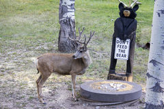Mule Deer Buck in Velvet. Near Casper, Wyoming. He's eating grain left by the land owner next to a carved bear with sign, don't feed the Bear royalty free stock image