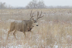 Mule Deer Buck Walking Royalty Free Stock Photo