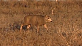 Mule Deer Buck stock footage