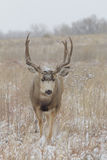 Mule Deer Buck Walking Head On Royalty Free Stock Photo