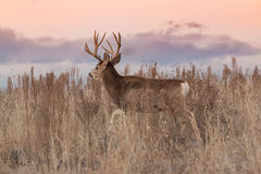 Mule Deer Buck Walking Royalty Free Stock Image