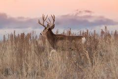 Mule Deer Buck Walking. A nice mule deer buck walking in weeds at sunrise Royalty Free Stock Image