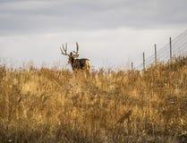 Mule Deer Buck Walking Through Prairie Grasses. Mule deer buck with large antlers, walking away through prairie grasses Royalty Free Stock Photo