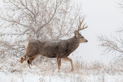 Mule Deer Buck Walking  in Snow Stock Photo