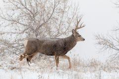 Mule Deer Buck Walking  in Snow. A mule deer buck walking in a snow covered filed Stock Photo