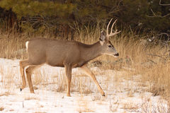 Mule Deer Buck Walking Stock Photo