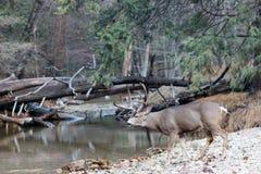 Mule deer buck walking toward river royalty free stock images