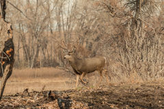 Mule Deer Buck Walking in Trees Royalty Free Stock Photo