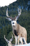 Mule Deer Buck. Watching  for intruders Royalty Free Stock Photography