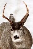 Mule Deer buck in winter Stock Photography