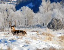 Mule Deer buck in the Winter stock photos