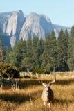 Mule deer buck in Yosemite Valley Royalty Free Stock Image