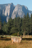 Mule deer buck in Yosemite Valley. Stock Images