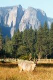 Mule deer buck in Yosemite Valley. royalty free stock photography