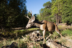 Mule deer buck in Yosemite Valley. Royalty Free Stock Images