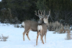 Mule Deer Bucks Stock Photography