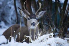 Mule Deer Bucks with Blind Eye stock image