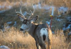 Mule Deer Bucks with Eyes Closed stock photography