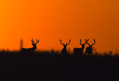 Mule Deer Bucks Silhoutted Stock Image