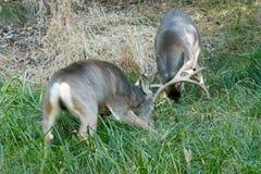 Mule deer bucks sparring. Odocoileus hemionus, California, Yosemite National Park royalty free stock photography