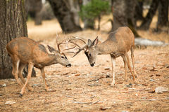 Mule deer bucks sparring Royalty Free Stock Photos