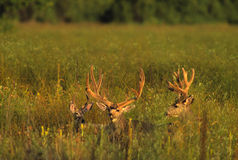 Mule Deer Bucks in Velvet Stock Photos