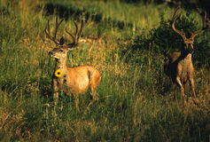 Mule Deer Bucks in Velvet. Two nice mule deer bucks in velvet in late summer royalty free stock photo
