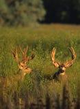 Mule Deer Bucks in Velvet. Two mule deer bucks in velvet standing in a field of tall sweet clover Royalty Free Stock Photography