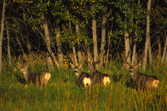 Mule Deer Bucks in Velvet. A group of four big mule deer bucks in velvet royalty free stock photography
