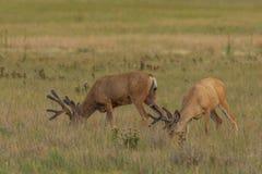 Mule Deer Bucks in Velvet Grazing. Nice mule deer bucks in velvet in grazing in summer stock photo