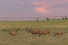 Mule Deer Bucks in Velvet. Nice mule deer bucks in velvet in Summer royalty free stock photography