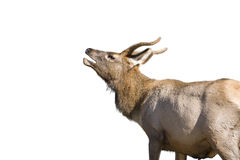 Mule Deer Bugling in Yellowstone park Royalty Free Stock Photos