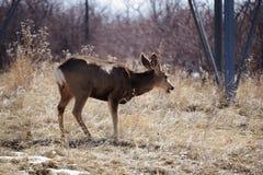Mule deer Chewing Royalty Free Stock Photo